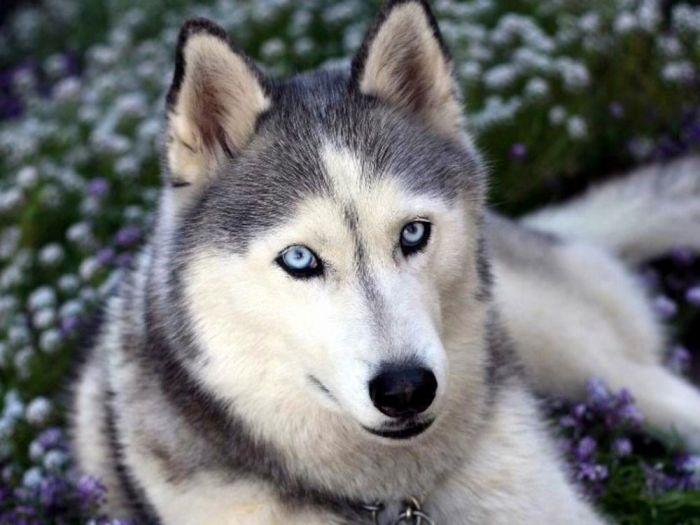 уход за взрослой собакой хаски