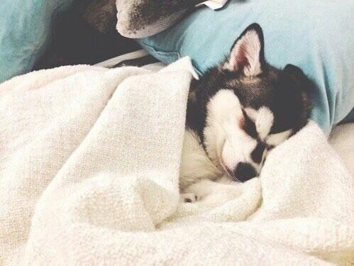 щенок хаски спит