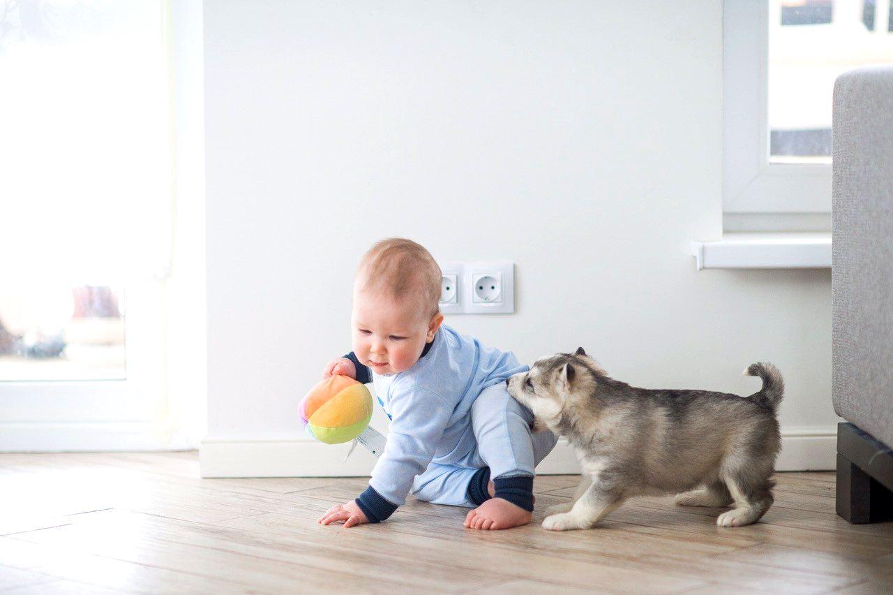 социализация щенков хаски