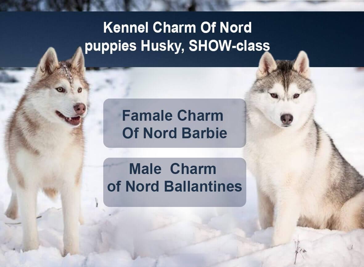 puppies Husky, SHOW-class
