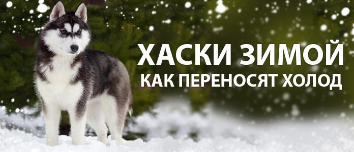 Хаск5и зимой