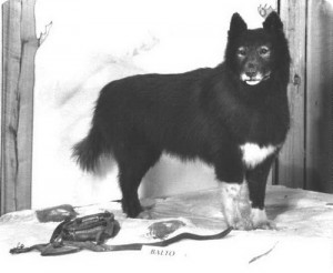 балто пес