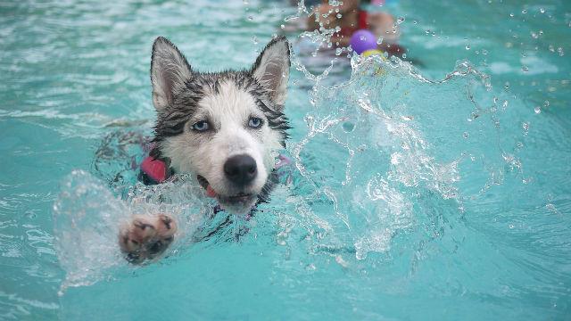 сибирский хаски купание