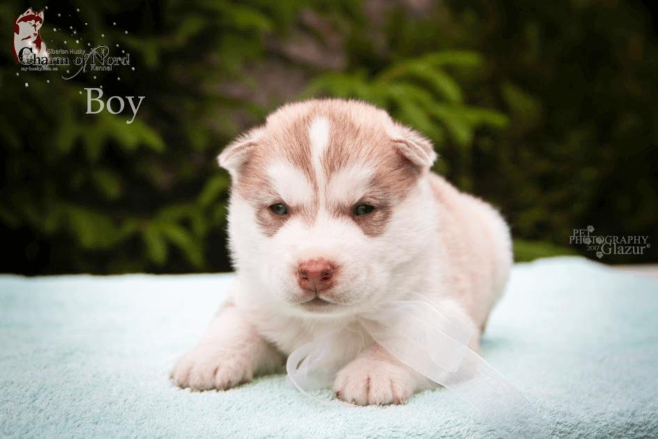 сибирские щенки