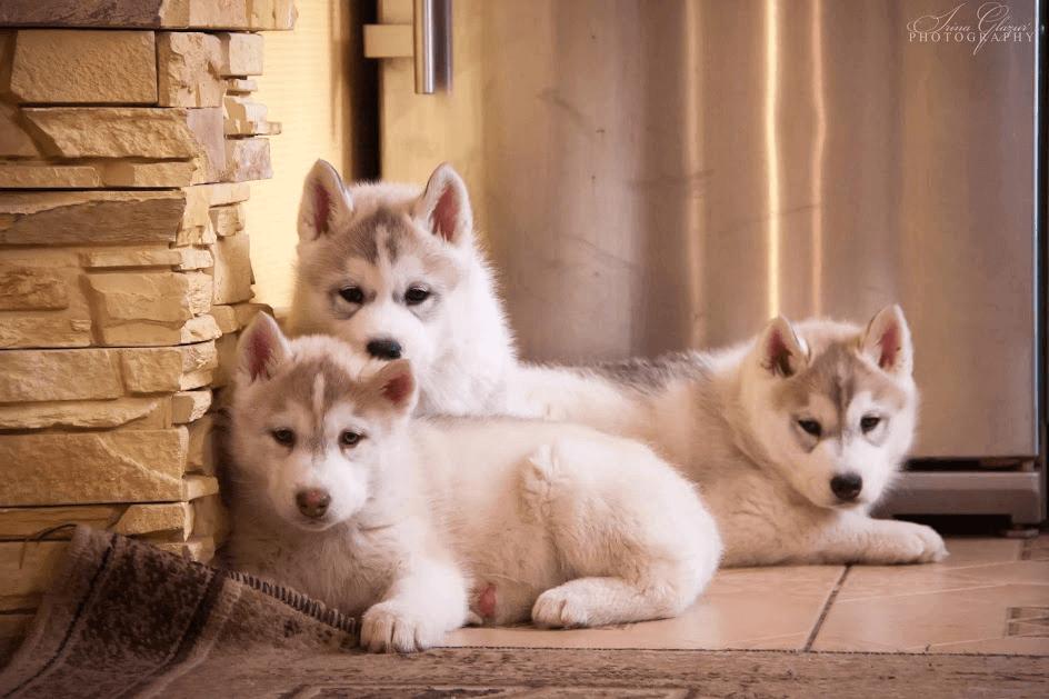 щенок хаски в доме