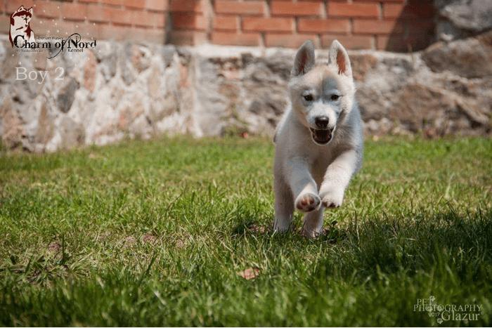 собака хаска или щенок