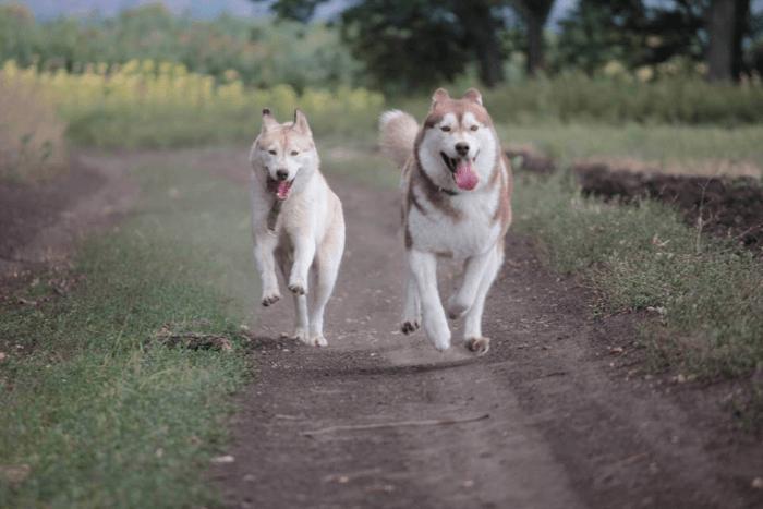 Взрослая хаска или щенок