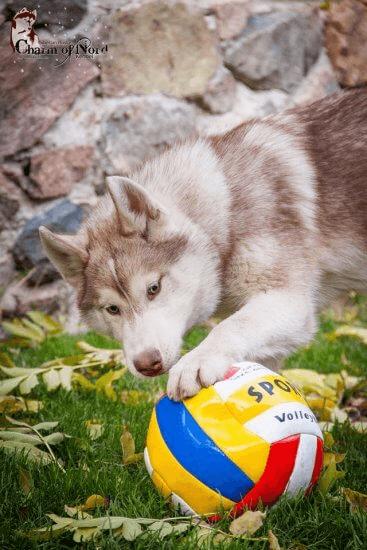 Безопасность хаски игрушки