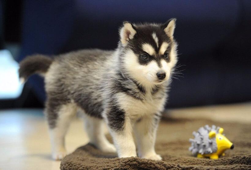купить щенка хаски с документами