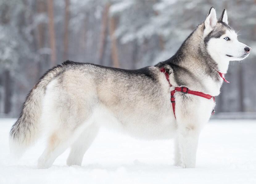 поводок для выгула Хаски зимой