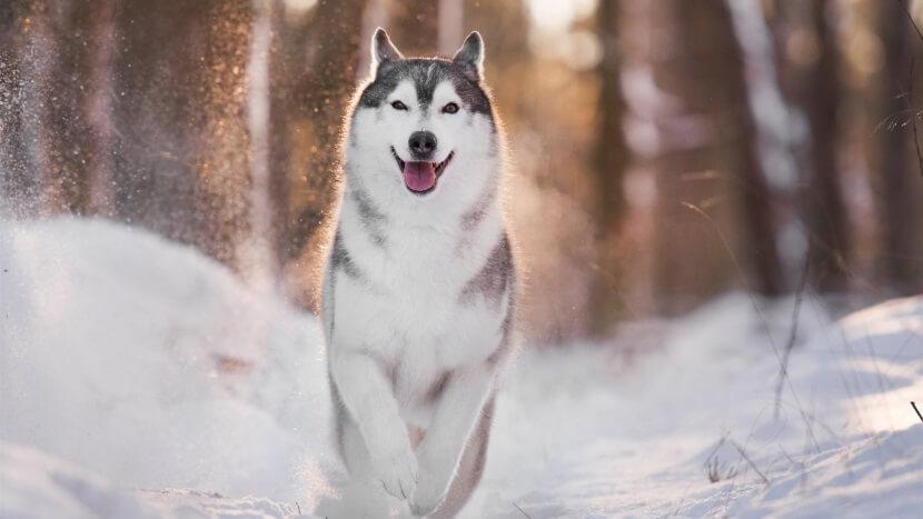 Прогулка с Хаски зимой